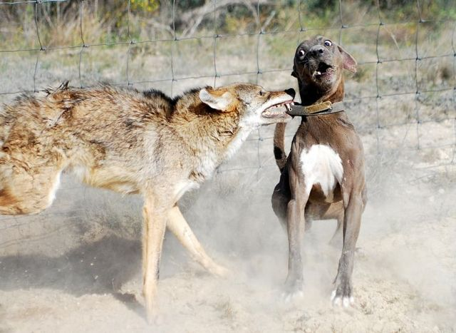 Dogs against a coyote - 01