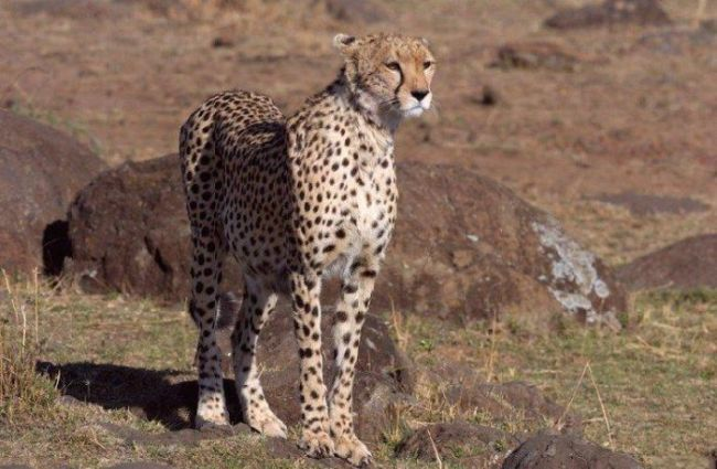 One episode from the life of a cheetah. Real predator - 00