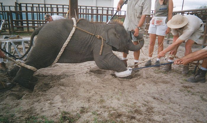 OMG. How circus elephants are tamed - 00