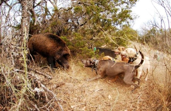 Hunting for wild boar - 00