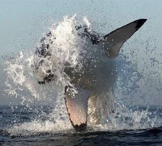 White Sharks hunting